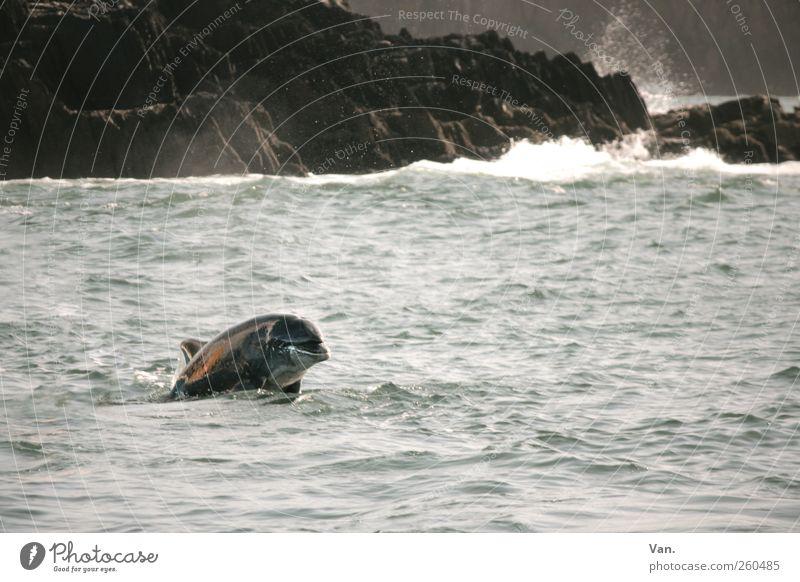 großes Getümmel Umwelt Natur Wasser Wind Felsen Küste Meer Atlantik Tier Wildtier Delphine 1 beobachten Schwimmen & Baden ästhetisch frei schön wild grau