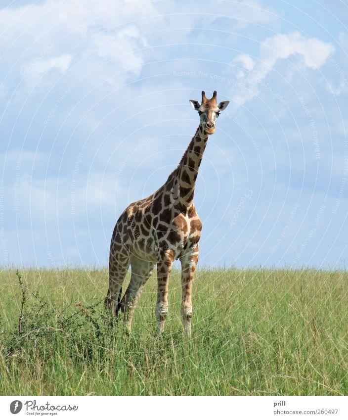 Giraffe in sunny ambiance Himmel Natur Ferien & Urlaub & Reisen Pflanze Sommer Tier Ferne Leben Freiheit Gras Erde Horizont elegant natürlich groß Wildtier