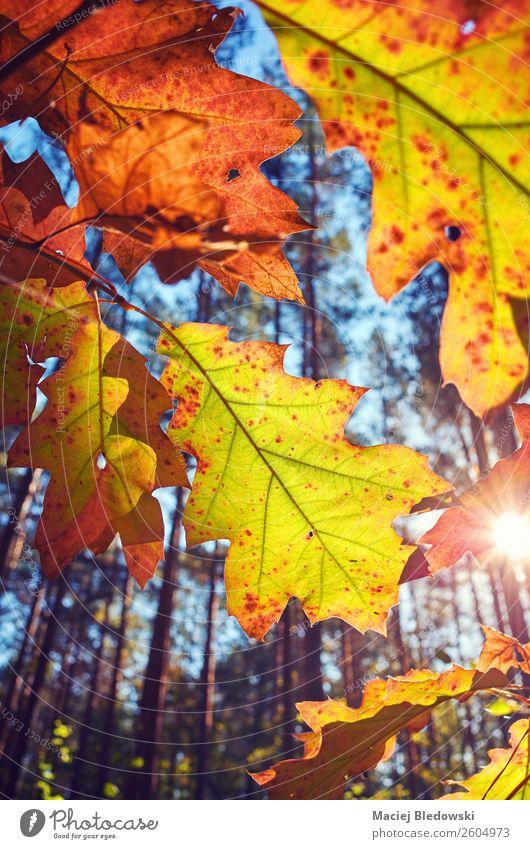 Der Herbst geht gegen die Sonne. Natur Pflanze Baum Blatt Park alt hell natürlich gelb Senior Dekadenz Farbe Nostalgie ruhig orange Jahreszeiten Hintergrund