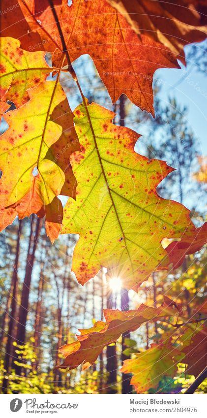 Der Herbst geht gegen die Sonne. Natur Pflanze Schönes Wetter Baum Blatt Grünpflanze Park Wald alt hell natürlich gelb Senior Farbe Gelassenheit ruhig Stimmung