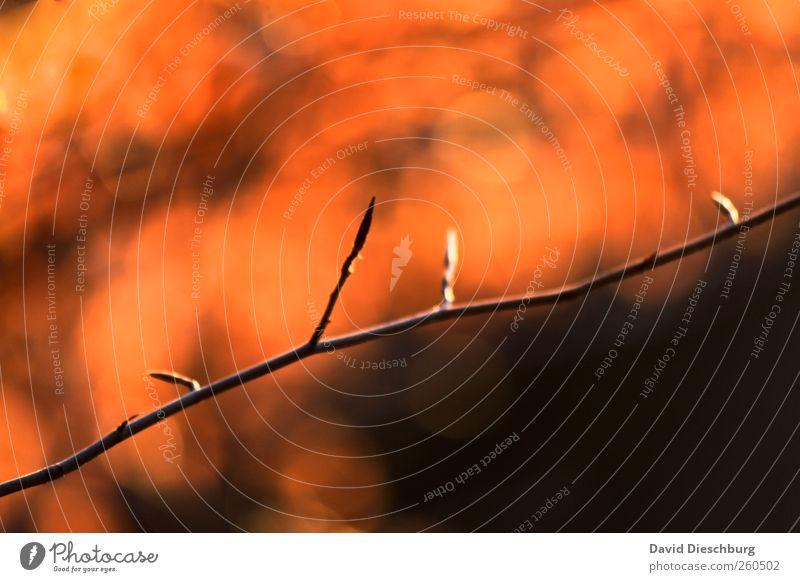 Frühlingsvorbereitungen Natur Pflanze schwarz Linie orange Wachstum diagonal Zweig Blütenknospen filigran Warme Farbe