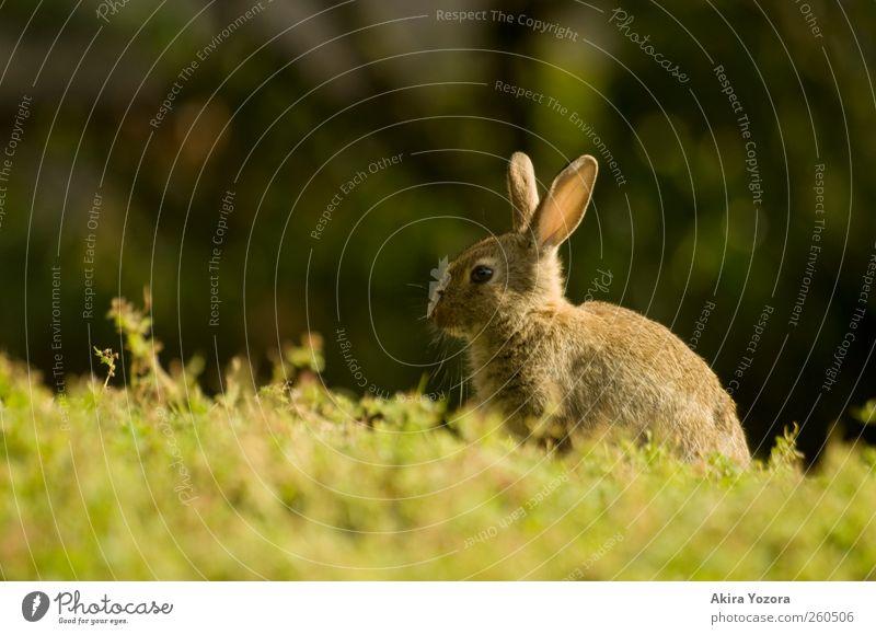 Mit Sonne im Rücken Natur Frühling Sommer Gras Wiese Tier Haustier Wildtier Hase & Kaninchen 1 sitzen warten braun grün schwarz Erholung Farbfoto Außenaufnahme