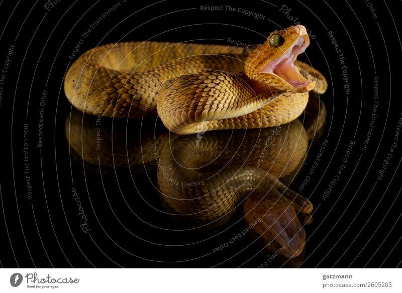 Buschviper Tier Haustier Wildtier Schlange Schuppen Zoo 1 Bewegung Essen fangen Fressen toben Aggression alt fantastisch gigantisch Unendlichkeit schön