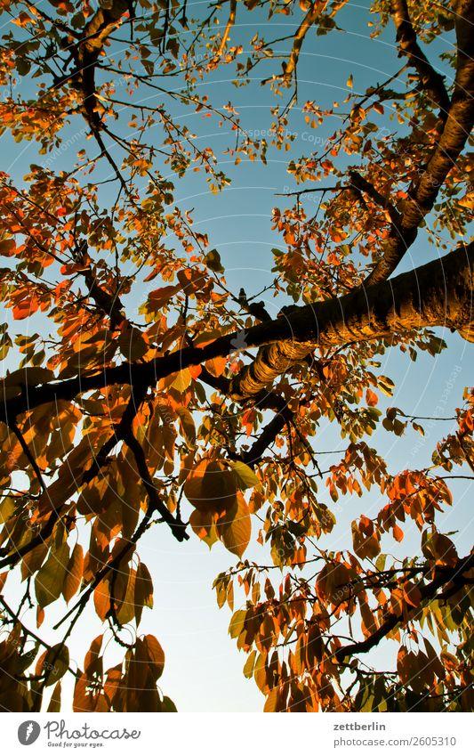 Kirschbaum Ast Baum Garten Herbst Herbstlaub Himmel Himmel (Jenseits) Schrebergarten Kleingartenkolonie Menschenleer Natur Pflanze ruhig Baumstamm Textfreiraum