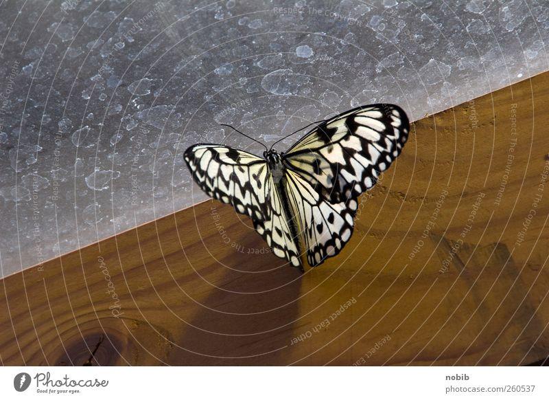 Schmetterling auf Holz Möbel Garten Gartenarbeit Zoo Natur Wiese Terrasse Tier Nutztier 1 Glas füttern ästhetisch exotisch schön braun grau schwarz silber weiß