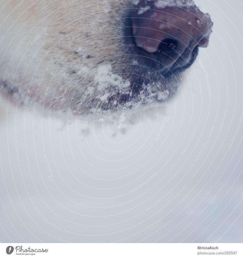 kalte schnauze. Umwelt Winter schlechtes Wetter Eis Frost Schnee Schneefall Tier Haustier Hund 1 Farbfoto Gedeckte Farben Nahaufnahme Detailaufnahme