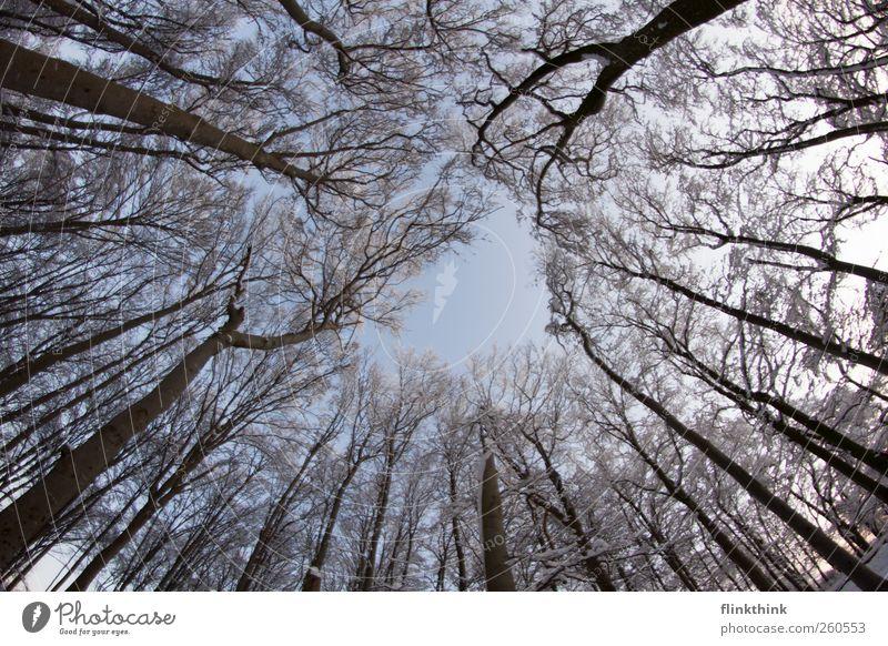 Winterzauber #4 Natur Himmel Wolkenloser Himmel Baum Ast Wald ästhetisch blau weiß Dezember Januar Februar kalt majestätisch hoch Ferne Farbfoto Außenaufnahme