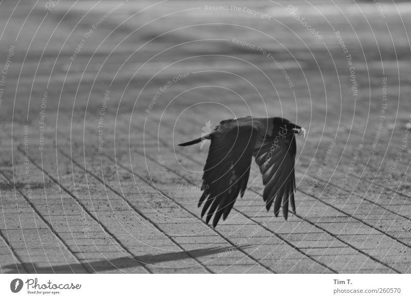 Bote Tier Vogel 1 Kontrolle Rabenvögel Krähe Schwarzweißfoto Außenaufnahme Menschenleer Tag
