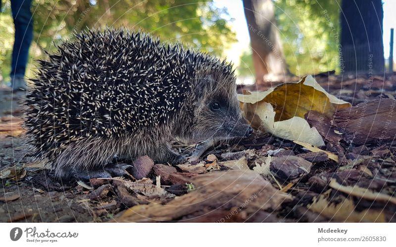 Stacheliges Unterfangen II Umwelt Natur Pflanze Herbst Schönes Wetter Baum Gras Sträucher Blatt Park Tier Wildtier Igel 1 verblüht warten authentisch klein