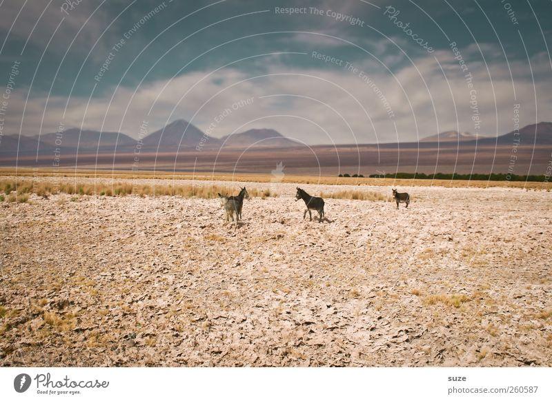 3 Esel Sommer Berge u. Gebirge Umwelt Natur Landschaft Tier Urelemente Erde Himmel Klima Schönes Wetter Wüste Nutztier Wildtier Tiergruppe hell wild Chile