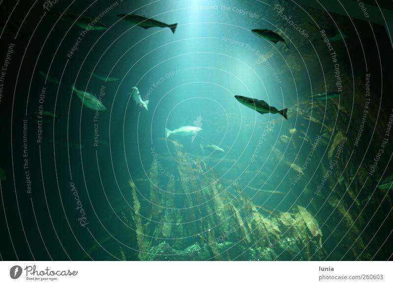 schwebende Fische Wasser Nordsee Tier Aquarium Tiergruppe Stein leuchten Schwimmen & Baden groß blau grün Abenteuer Erholung Gelassenheit Farbfoto