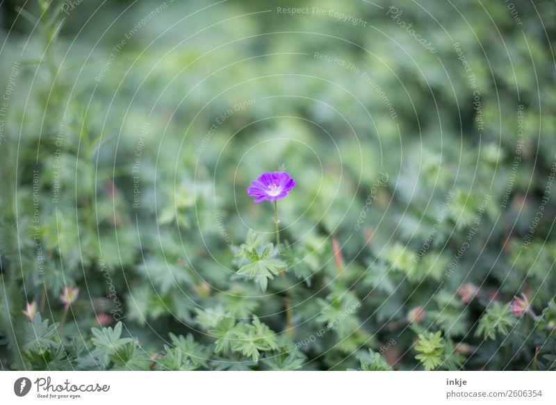 Storchenschnabel (?) Natur Sommer Pflanze grün Blume Blüte klein Garten Blühend violett Bodendecker
