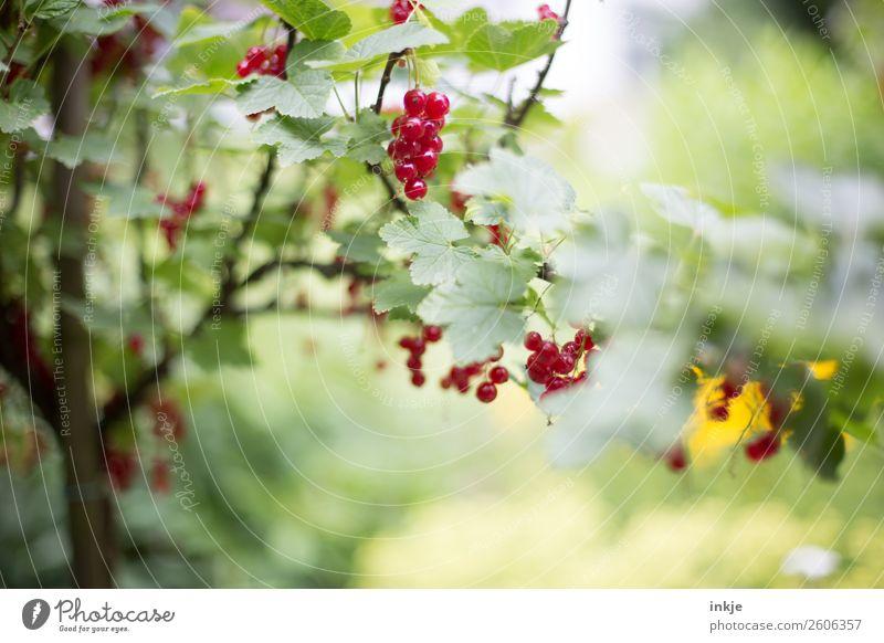 Johannisbeerbäumchen im Garten. Rote Früchte, grüne Blätter. Frucht Johannisbeeren Johannisbeerstrauch Ernährung Natur Sommer Schönes Wetter Nutzpflanze frisch