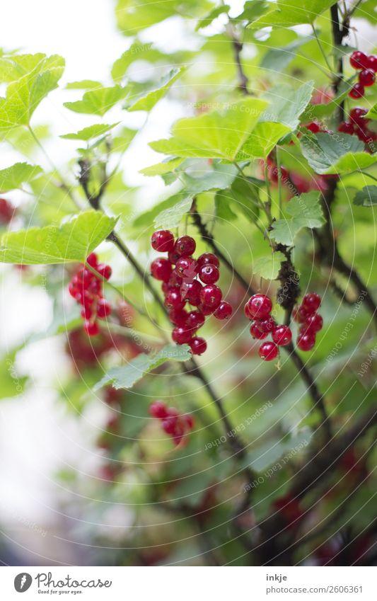 Johannisbeeren im Garten. Reif, rot. Frucht Ernährung Natur Sommer Nutzpflanze Johannisbeerstrauch frisch lecker grün reif Gartenbau Ernte Farbfoto mehrfarbig