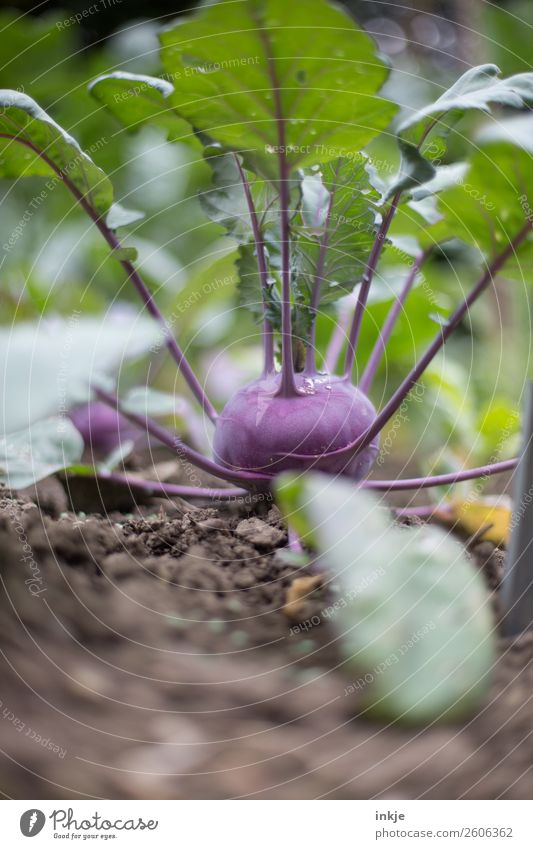 Kohlrabi Sommer Herbst Garten Ernährung frisch Erde Wachstum Gemüse Ernte Beet Nutzpflanze Gemüsegarten Gemüsebeet