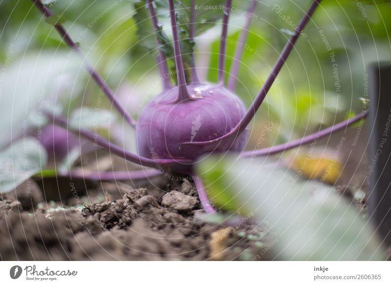 Kohlrabi Gemüse Ernährung Bioprodukte Sommer Herbst Nutzpflanze Garten Gemüsebeet Erde Beet nutzbeet Ackerbau Ernte Wachstum frisch braun grün violett Farbfoto