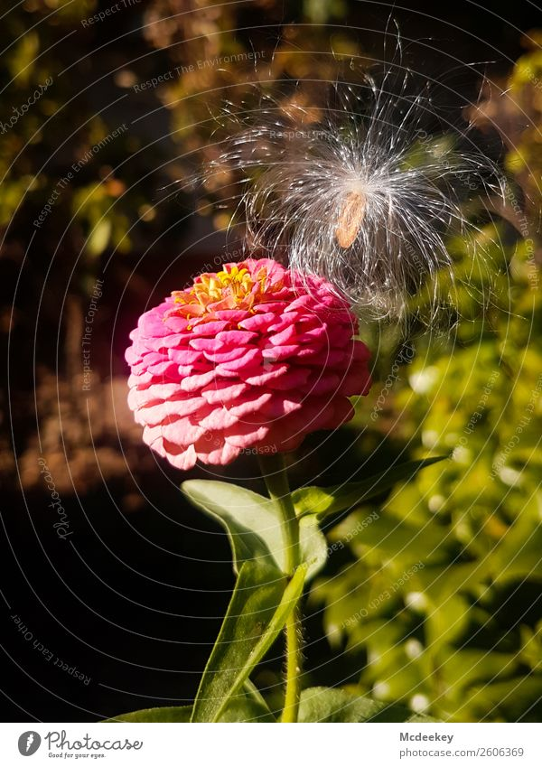 Mit Leichtigkeit Natur Pflanze Sonne Herbst Schönes Wetter Blume Gras Blatt Blüte exotisch Samen Samenpflanze Garten Blühend natürlich schön braun mehrfarbig