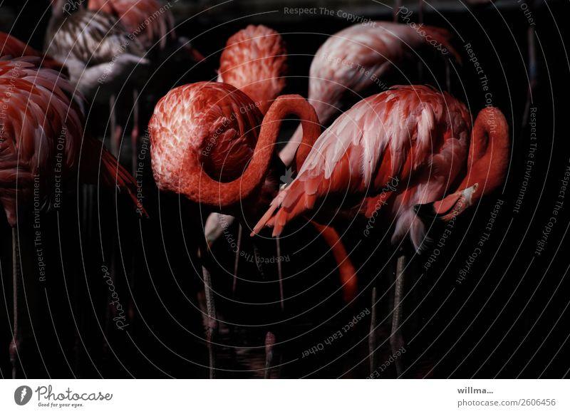 entflammte ingos Tier Wildtier Vogel Flamingo Landwirbeltier Tiergruppe exotisch rot schwarz dunkel Farbfoto Gedeckte Farben Außenaufnahme