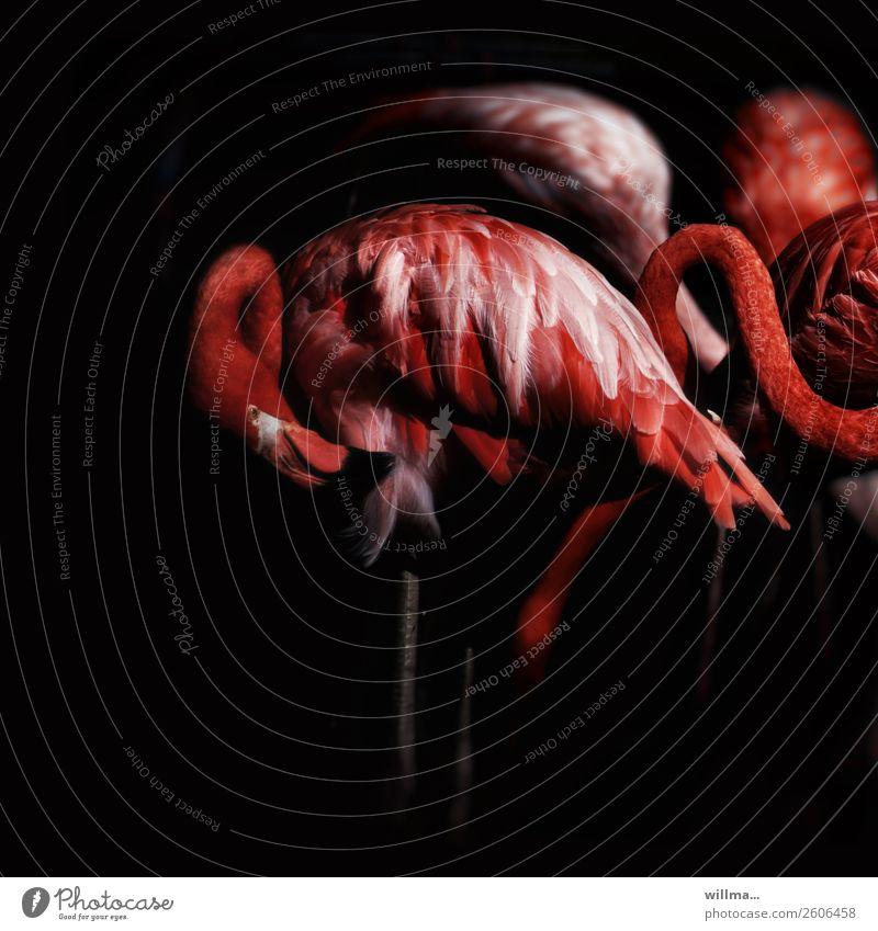 flamingo on black Wildtier Flamingo Tiergruppe ästhetisch dunkel exotisch rot schwarz außergewöhnlich Farbfoto Außenaufnahme