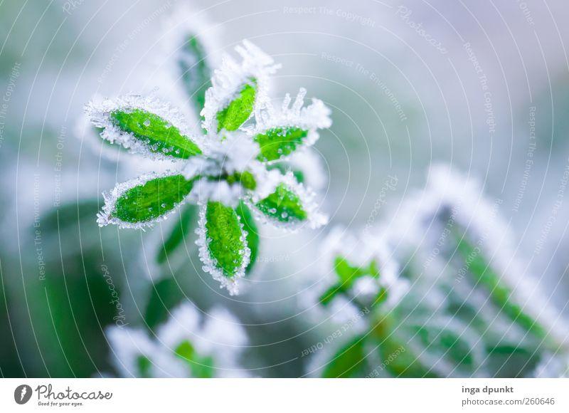 Grüner Stern Natur weiß grün schön Pflanze Winter Blume Blatt Umwelt kalt Landschaft Wetter Eis Klima frisch Hoffnung