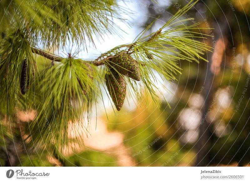 Nahaufnahme der grünen Kiefer mit jungen Zapfen schön Sommer Winter Dekoration & Verzierung Umwelt Natur Pflanze Herbst Baum Park Wald hell natürlich Farbe Holz