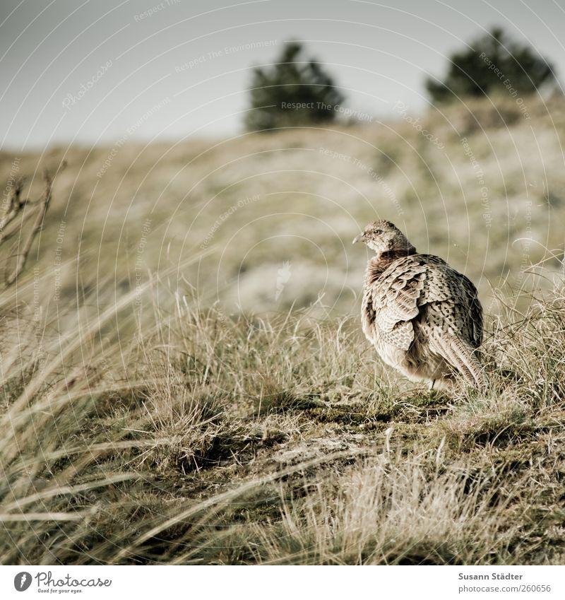 Insulaner | Spiekeroog Natur Park Hügel Wildtier Jagd Fasan Vogel Sträucher freilaufend freilebend Außenaufnahme