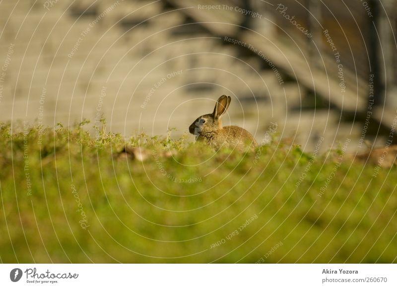 Wachdienst Natur grün Sommer Tier schwarz Wiese grau Frühling braun sitzen warten Wildtier Treppe Sicherheit Schönes Wetter Hase & Kaninchen