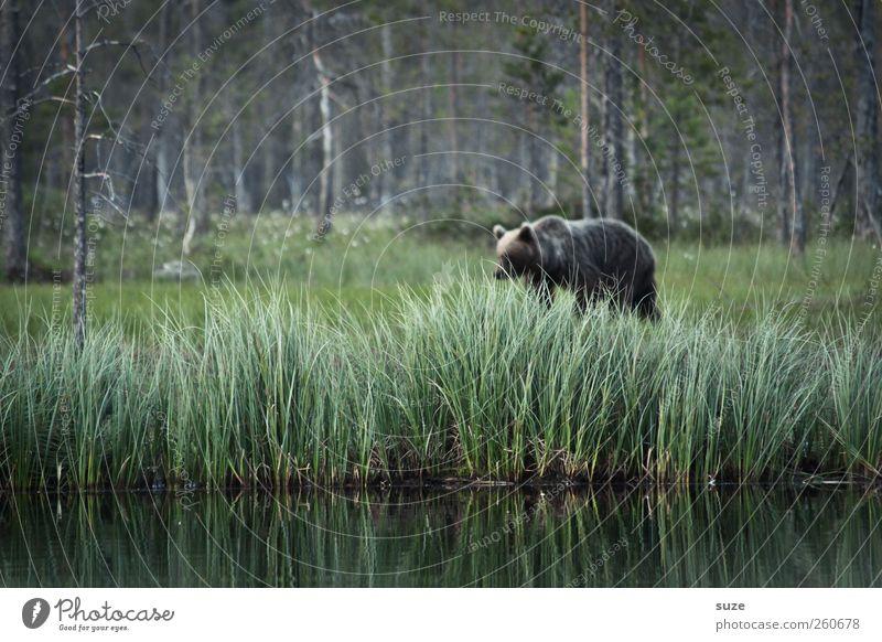Ben der Bär Natur grün Landschaft Tier Wald Umwelt Wiese Gras See braun Angst wild Wildtier bedrohlich beobachten Seeufer