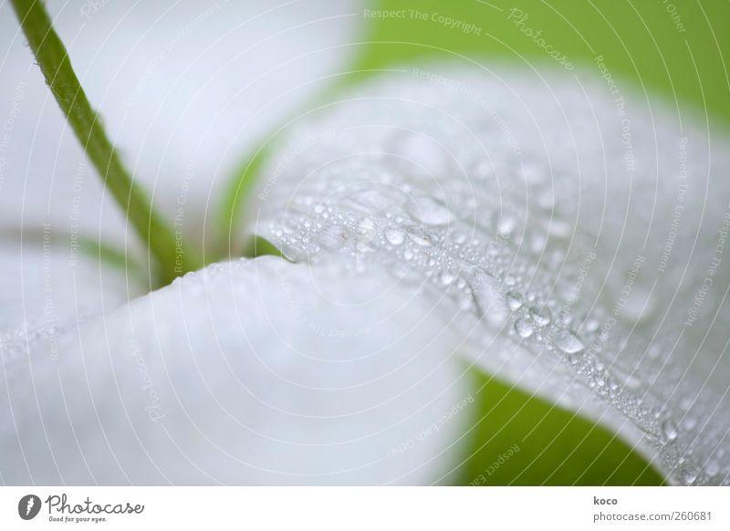 Sommerregen Natur Wasser weiß grün schön Pflanze Blume Blatt Umwelt kalt Blüte Traurigkeit träumen elegant glänzend liegen
