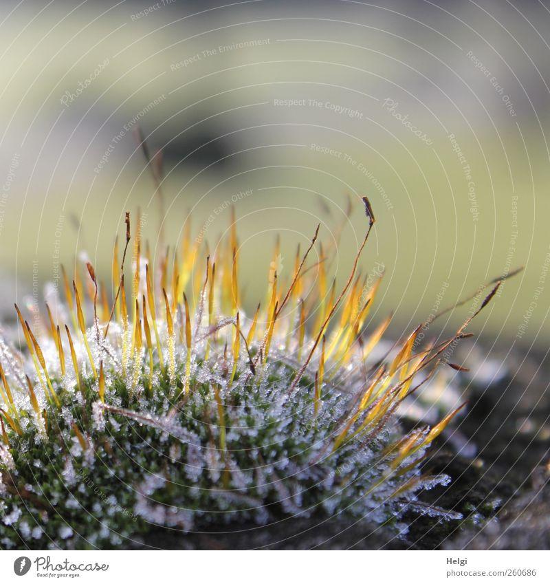 eisig kalt... Umwelt Natur Pflanze Winter Eis Frost Moos Grünpflanze Wildpflanze glänzend leuchten stehen Wachstum ästhetisch klein natürlich braun gelb grün