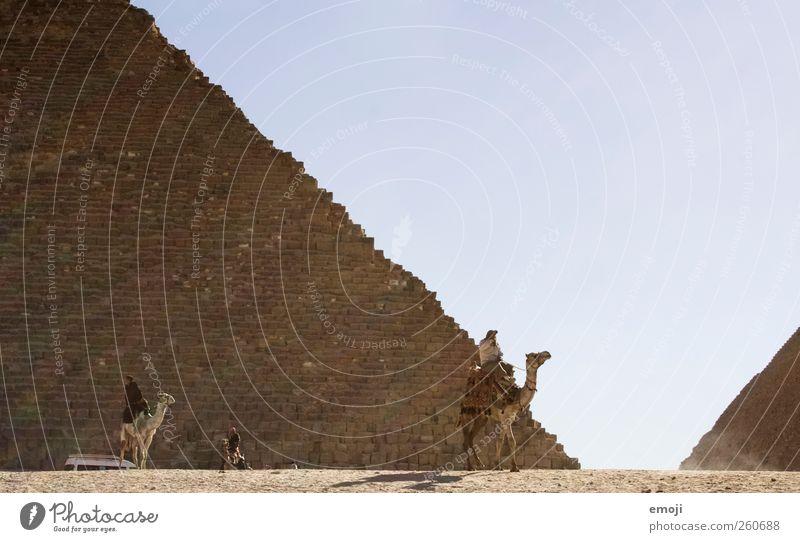 Camel Umwelt Natur Himmel Wolkenloser Himmel Schönes Wetter Wärme Dürre Wüste Nutztier außergewöhnlich Sand Kamel Pyramide Gizeh Farbfoto Außenaufnahme