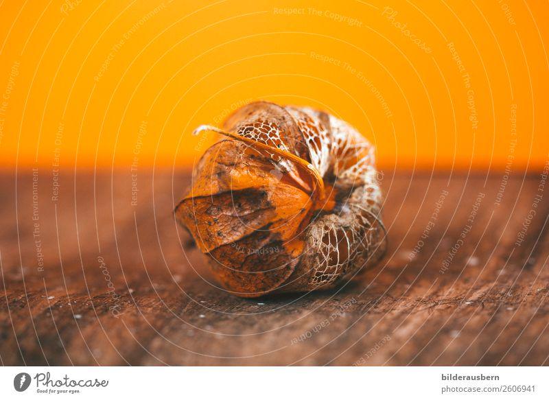 Herbstkunstwerk in Orange Pflanze Blüte Physalis Frucht Dekoration & Verzierung Zyklus leuchten dehydrieren ästhetisch schön trocken braun orange Gefühle