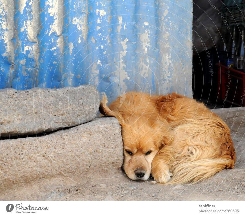 Lauschangriff Tier Haustier Hund Tiergesicht Pfote 1 liegen Traurigkeit Erholung hören Kuscheln Hundeschnauze Hundeblick Hundekopf Wellblech Wellblechwand