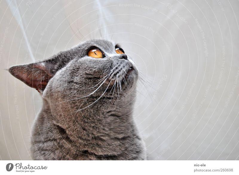...und er will noch mehr Katze Tier gelb grau glänzend niedlich weich Neugier Fell Tiergesicht Sehnsucht Appetit & Hunger Haustier kuschlig füttern Begierde