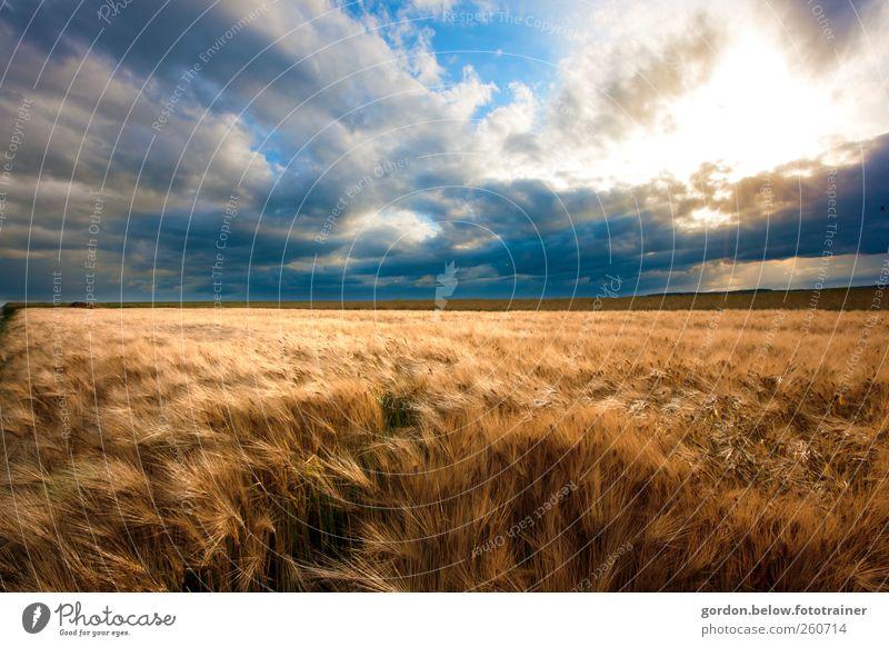 vor dem Sturm Getreide Ferne Sommer Bewegung blau braun gelb gold Weizenfeld Himmel Wolken Wind Horizont Farbfoto Außenaufnahme Menschenleer Abend Sonnenlicht
