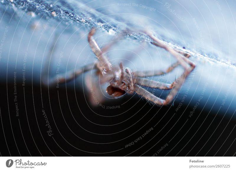 Des Jägers Tod Tier Wildtier Spinne 1 klein nah natürlich blau braun schwarz Spinnennetz Spinnenbeine Farbfoto Gedeckte Farben Außenaufnahme Nahaufnahme