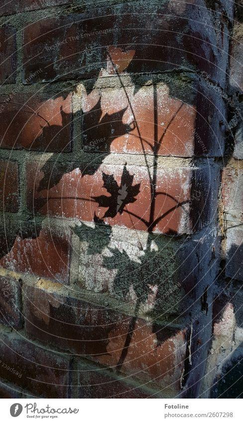 Herbstschatten Blatt schwarz Wand Mauer braun grau Ahornblatt Mauerpflanze Mauerstein