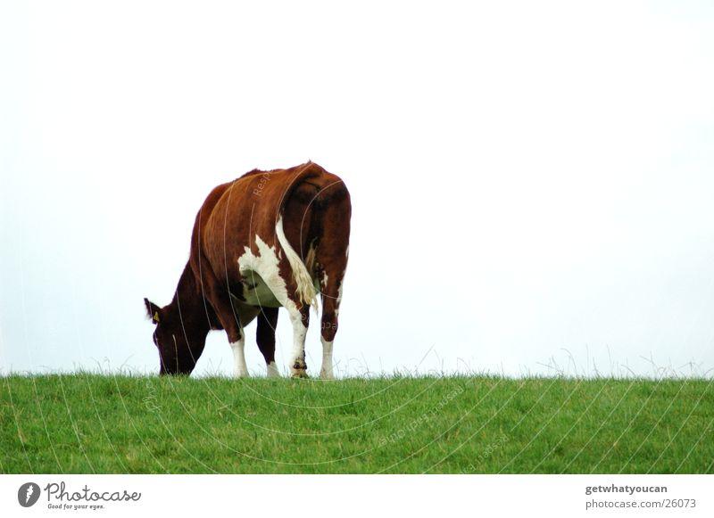 Rasenmäher Himmel grün Wolken Herbst Wiese hell Horizont Rasen Kuh Fleck Fressen rückwärts