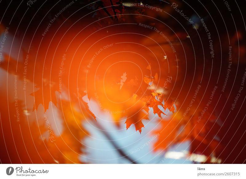 der Herbst ist da Umwelt Natur Schönes Wetter Baum Blatt Vergänglichkeit Wandel & Veränderung leuchten Blätterdach Zweig Farbfoto Außenaufnahme Menschenleer