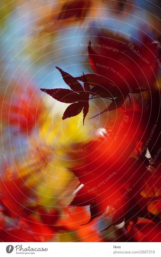 Herbst Blätterdach Natur hell bunt japanischer Ahorn Abschied Wandel