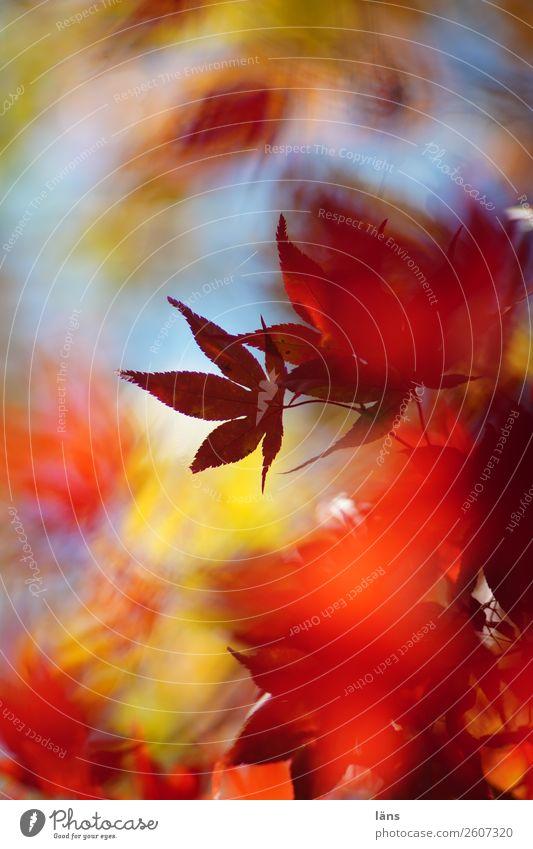 im Strom der Zeit Umwelt Natur Herbst Schönes Wetter Pflanze Baum Japanischer Ahorn Wandel & Veränderung Blätterdach Farbfoto Außenaufnahme Experiment