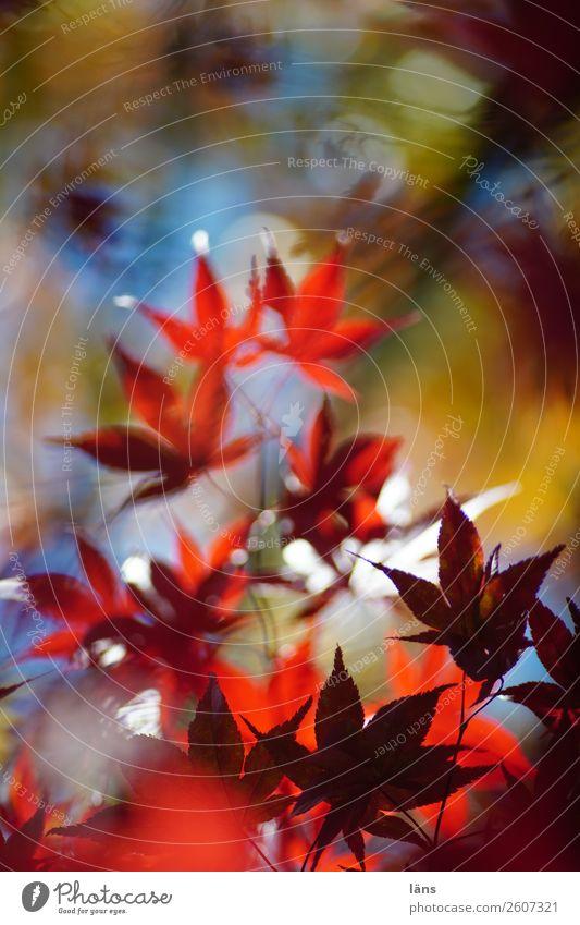 Japanischer Ahorn Umwelt Natur Herbst Schönes Wetter Pflanze Baum Grünpflanze mehrfarbig einzigartig Wandel & Veränderung Blätterdach Farbfoto Außenaufnahme