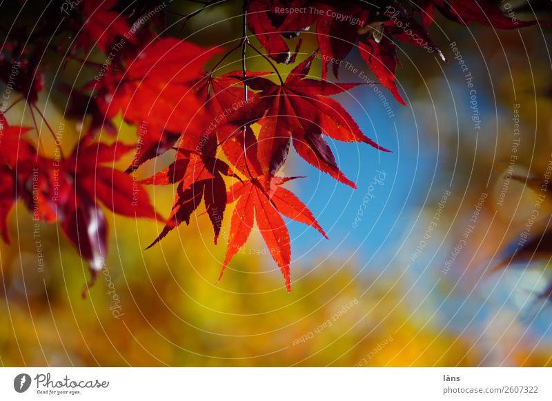 Herbstlich Natur Himmel Blatt Japanischer Ahorn Wandel & Veränderung Blätterdach mehrfarbig leuchten Farbfoto Außenaufnahme Menschenleer Tag Licht Schatten