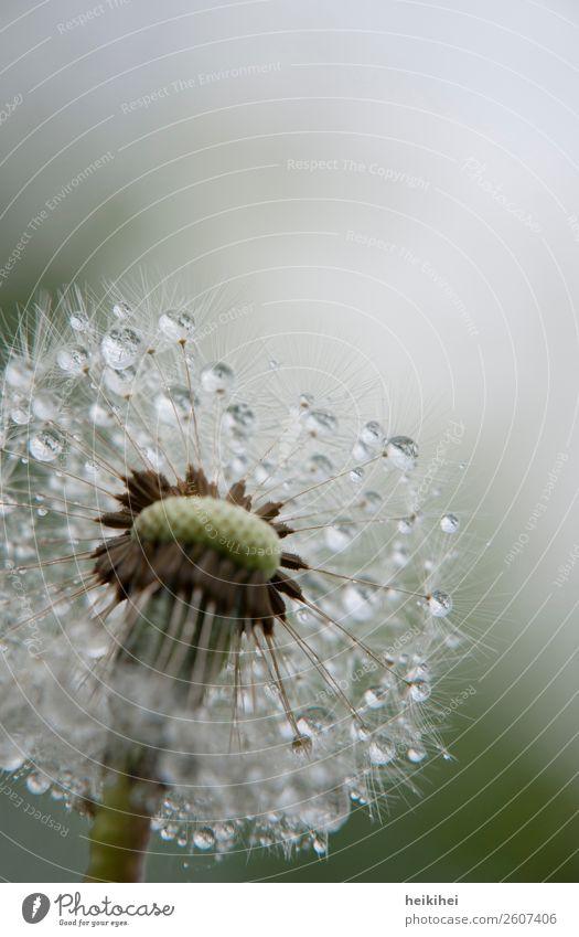 Morgentau - Pusteblume mit Wassertropfen Natur Pflanze Frühling Blume Garten glänzend leuchten nass grün weiß Begeisterung schön Löwenzahn leicht Makroaufnahme