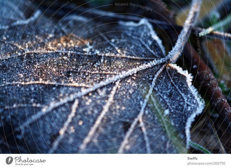 eisig kalt Natur Blatt Winter kalt Umwelt glänzend Eis Frost gefroren frieren Blattadern Lichtspiel Lichteinfall Dezember Raureif Februar