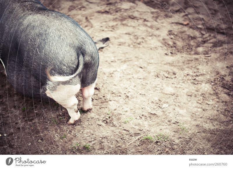 Schweinskram Landwirtschaft Forstwirtschaft Tier Erde Sand Haustier Nutztier 1 authentisch dreckig lustig natürlich braun grau Hinterteil Schwanz Ringelschwanz