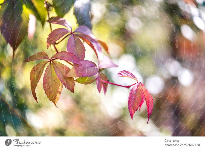 Trash | Letzte Herbstbild einer Serie.. Natur Pflanze Blatt Wilder Wein Ranke Herbstlaub Garten verblüht dehydrieren ästhetisch schön braun gold grün orange