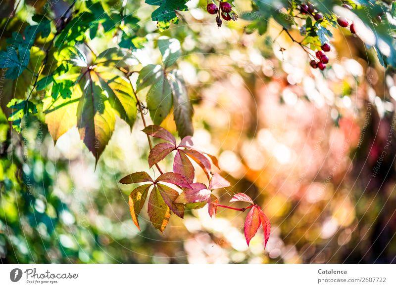 Blätter der Wilden Weinrebe Natur Pflanze schön grün rot Blatt Wald Herbst Garten orange rosa Stimmung Schönes Wetter Wandel & Veränderung Jahreszeiten Beeren