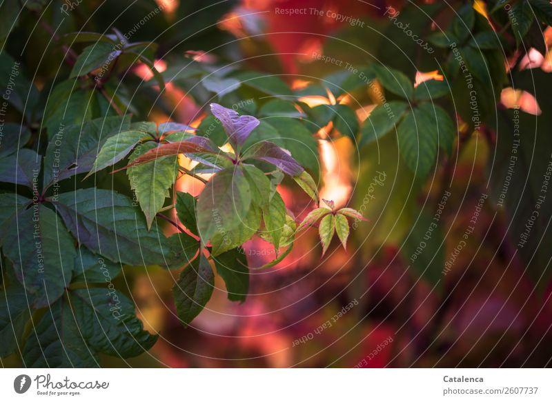 Kein Grau Natur Pflanze Herbst Schönes Wetter Blatt Wilder Wein Garten Park ästhetisch authentisch schön braun grün orange rosa rot Stimmung unbeständig