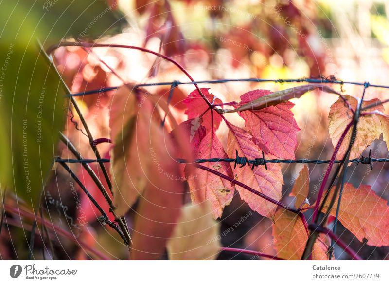 Stacheldraht Natur Pflanze Farbe grün Blatt schwarz Herbst Umwelt Garten orange rosa Stimmung leuchten gefährlich Vergänglichkeit Spitze